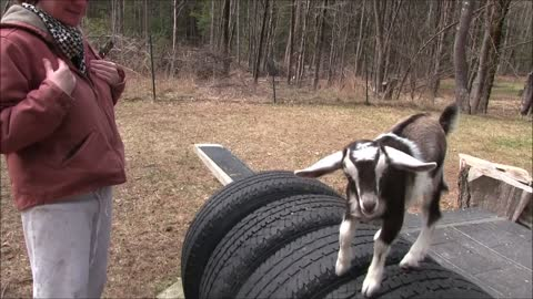 Baby Goat Loves Jumping into Arms for Hugs!