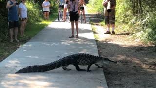Alligators Calmly Cross Crowded Path