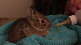 Baby bunny drinking milk