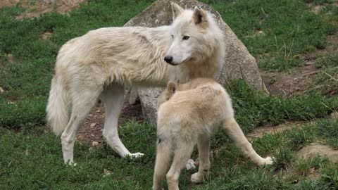 Great white wolf and his little one funny vlog