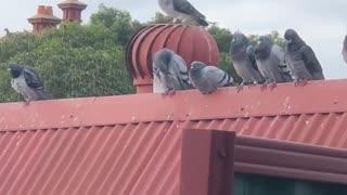 Pigeon Won't Stop Spinning