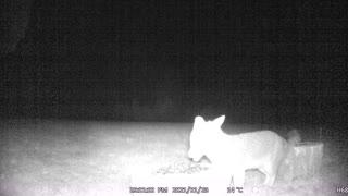 Single Fox