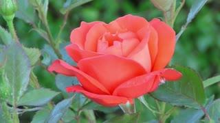 Fantastic Rose flower opening time lapse