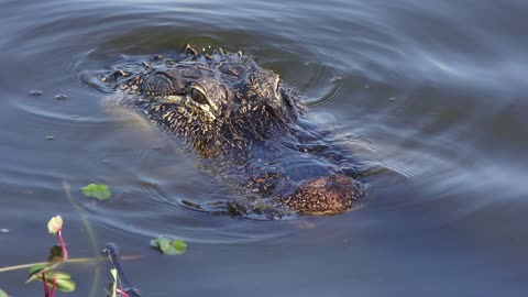 alligator in the water , close up