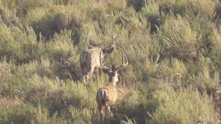 Southern Idaho Mule Deer