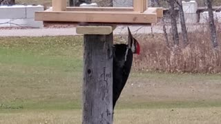 Beautiful rare Pileated Woodpecker at a feeder