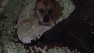 Dog Converts His Dog Bed into a Sleeping Bag