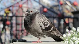 Pigeon Near Playground