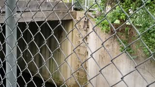Mother Raccoon Rescues Kits From Creek