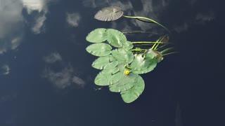 Yellow Water Flower in Sawgrass Lake St Petersburg Florida