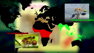 Weaver Ant facts sewing leaves together Animal Fact Files