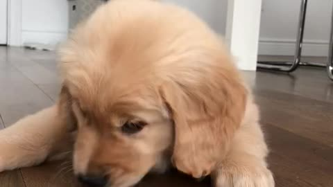 Golden pup trying frozen yogurt for the first time