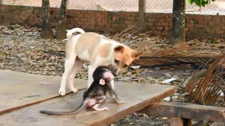 Baby monkey Baly plays with cute puppy! 🐵🐶🥰