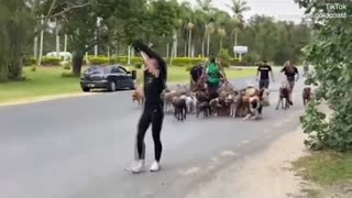 Man attempts to break world record for dog walking with 55 dogs