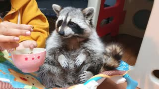Pampered pet raccoon gets hand fed like a baby