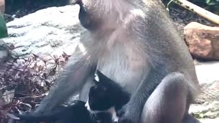 Monkey Holds and Strokes Kitty