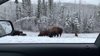 Driving Through the Yukon Enjoying the Wildlife