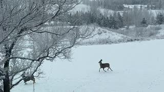 Synchronized Deer Hop Through Yard