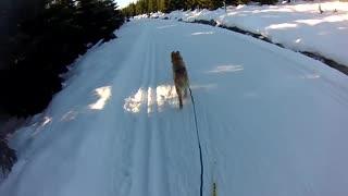 Skijoring with a Golden Retriever