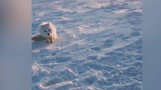 Baby Arctic Fox Steals Mans Fish