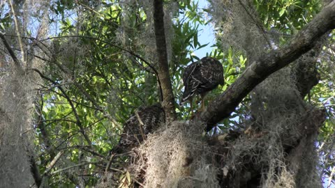 young Red-Shouldered Hawks in the nest
