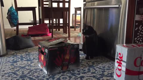 Cat in the box scares dog