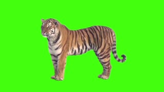 GREEN SCREEN TIGER
