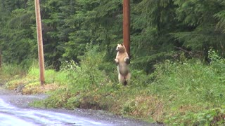 Kermode Bear Scratches Back on Power Pole