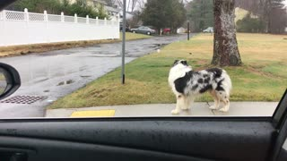 Dog impressively trained to run alongside owner's car