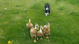 Impressive Border Collie Herds Ducks