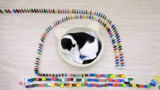 Funny Cats playing with DOMINO