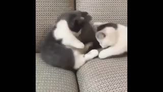 Cats playing fighting