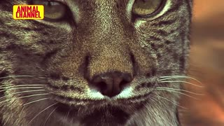 Most Incredible WILDCATS Attacks | Animals Attack