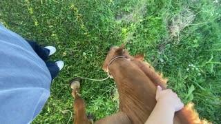 cute horse eats grass