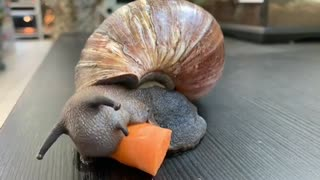 giant African snail eating a carrot