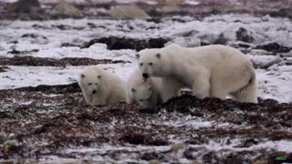 Polar bears having fun