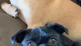 Dancing Pug dogs eating whip cream