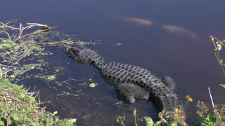 American Alligator basking near a fish nest