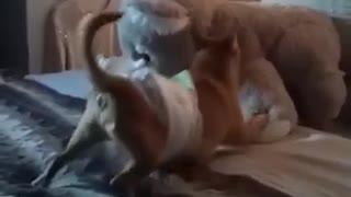 Jack-Chi Gets Caught Wrestling Stuffed Animal
