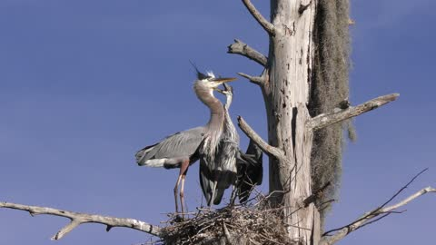 Young Great Blue Heron asking for food