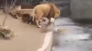 Lion jumps over water