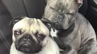 Two adorable doggies preciously cuddle during car ride