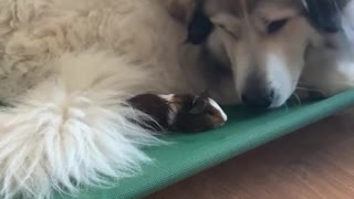 Gentle Giant and His Tiny Guinea Pig Friend