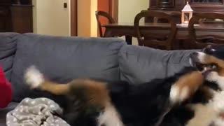 Doggo is Jealous She Isn't Getting Love
