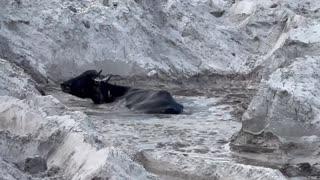 Water Buffalo mud bath