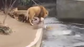 Lion takes a beautiful tumble into the water