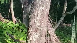 Close Encounter of the Koala Kind