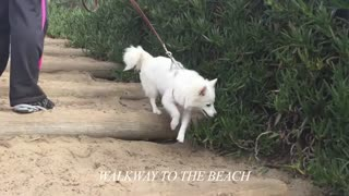 American Eskimo & Pomeranian at the Beach