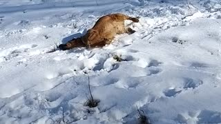 Dog Hilariously Body Slides Down Snowy Hill