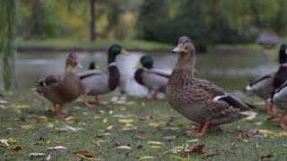 Ducks around the pond